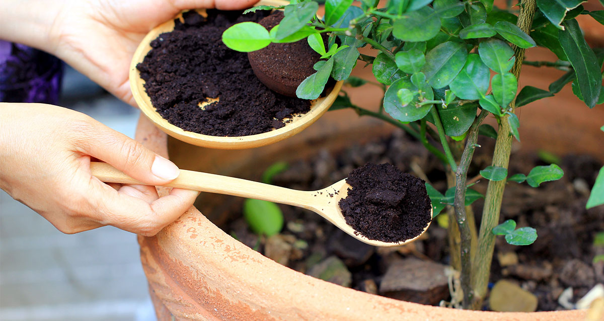coffee grounds into the soil