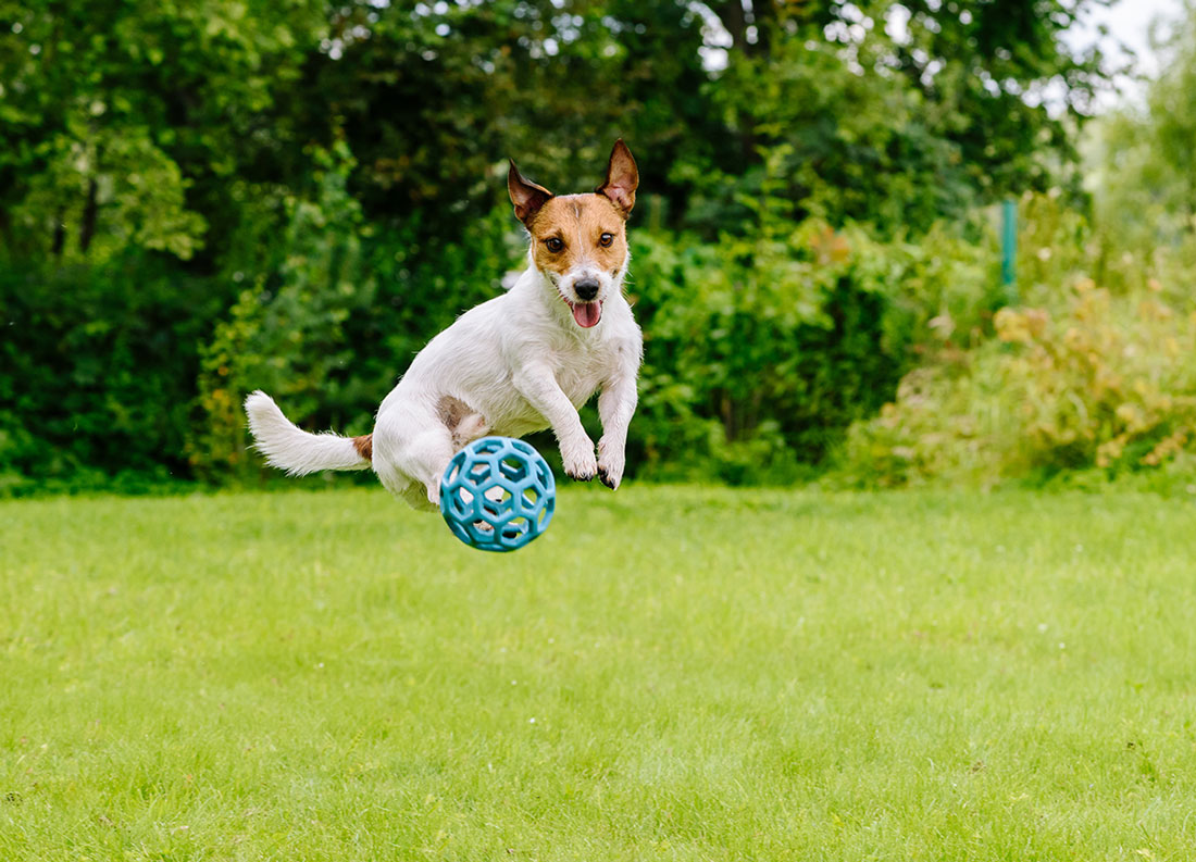 Bouncing dog playing at back yard jumping with toy ball