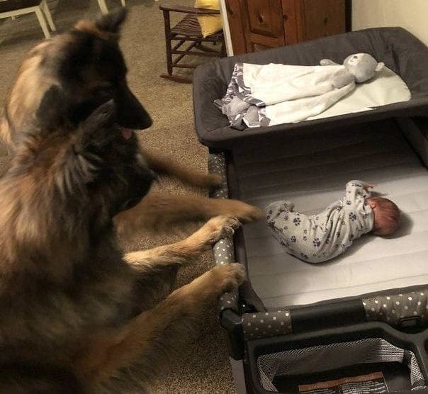 Two dogs looking at a baby in his crib