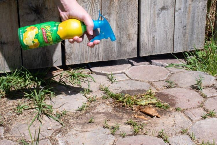 Spraying lemon juice on weeds