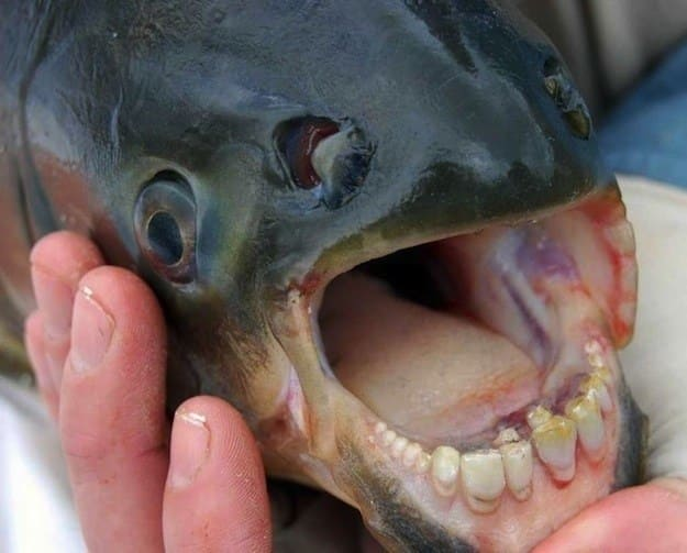 a fish with a mouth full of human-like teeth