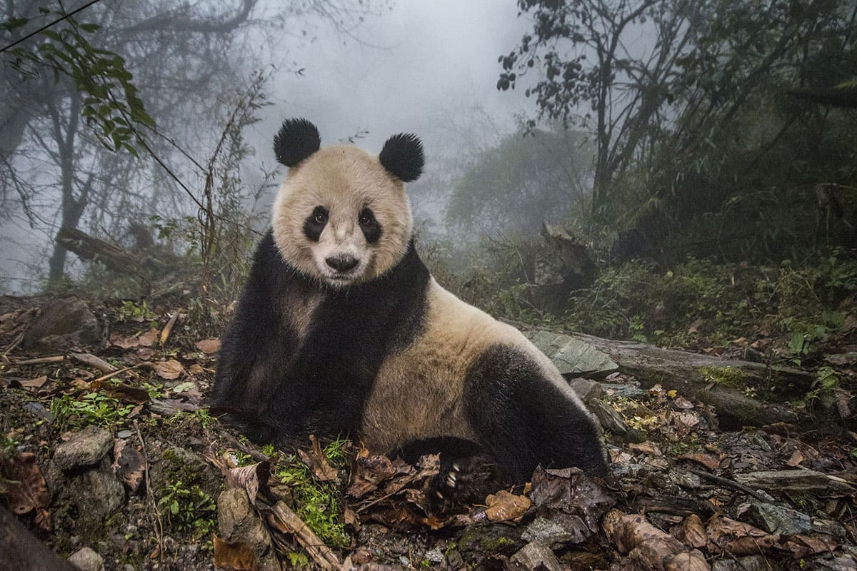 a picture of a panda sitting in the forest