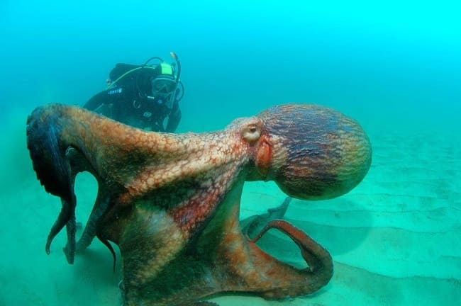 A diver next to a large octopus