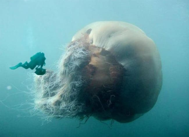 Diver next to a giant jellyfish