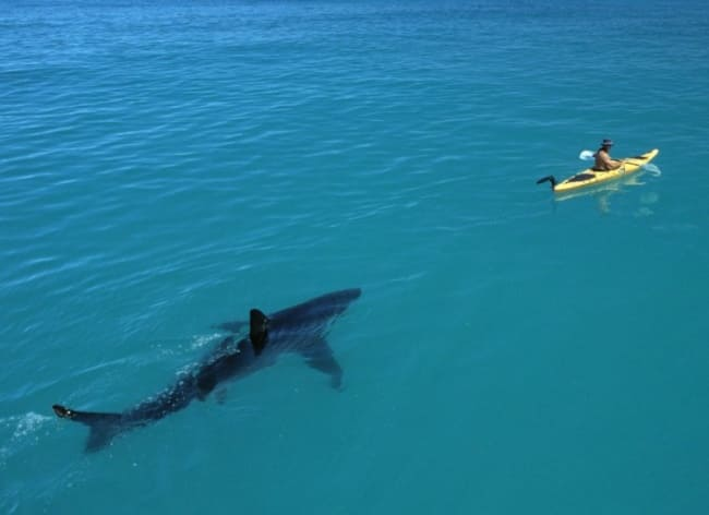 A man in a kayak with a shark behind him