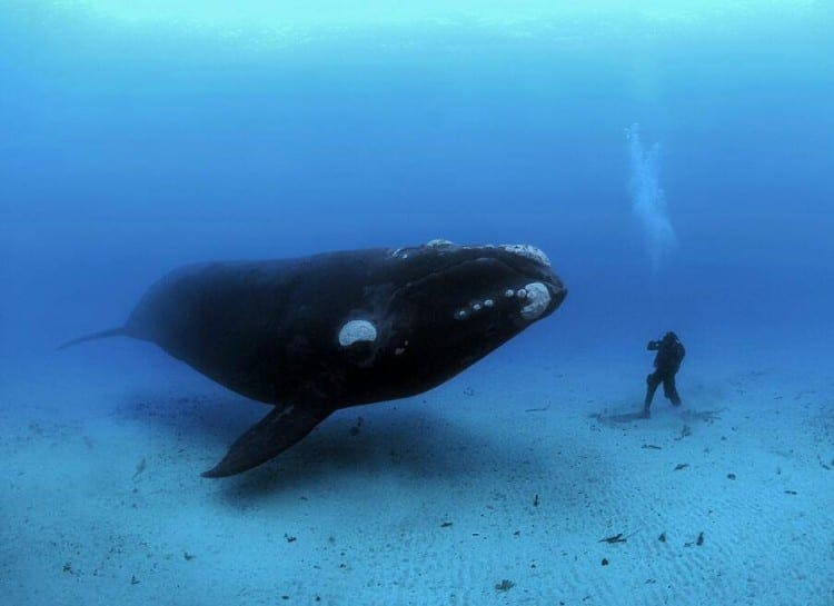A diver next to a whale