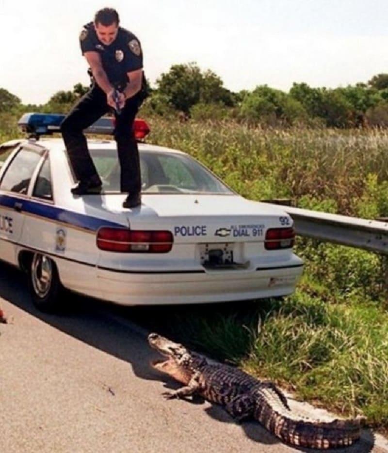 Cop pointing his gun at an alligator