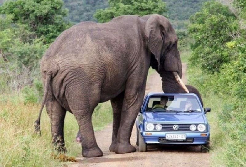 An elephant next to a car