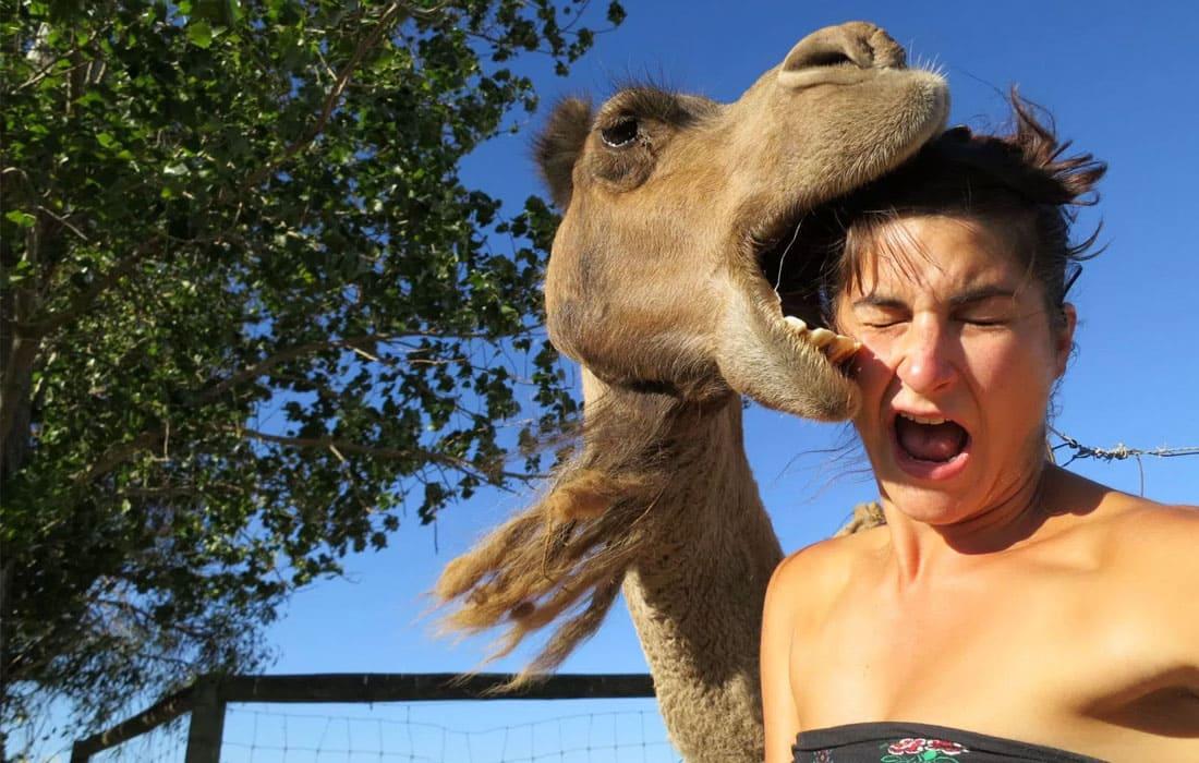 A camel biting a woman's head