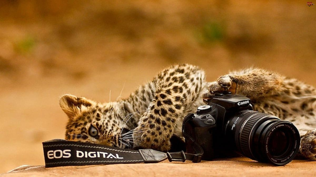 A cheetah cub laying on the floor playing with a camera
