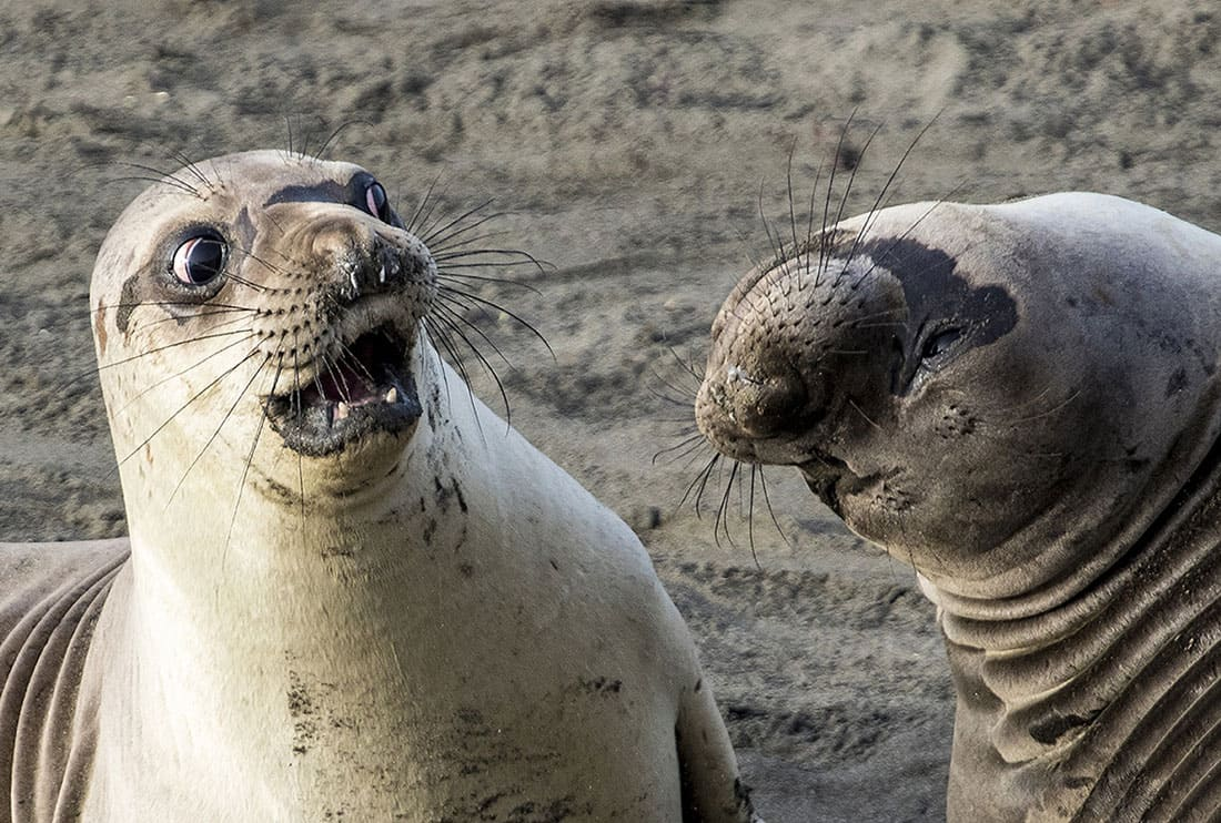 A seal looking horribly shocked as his partner bends her head all the way back