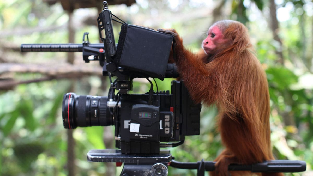 Red-faced monkey play with camera equipment