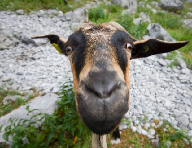 A goat staring straight into the camera