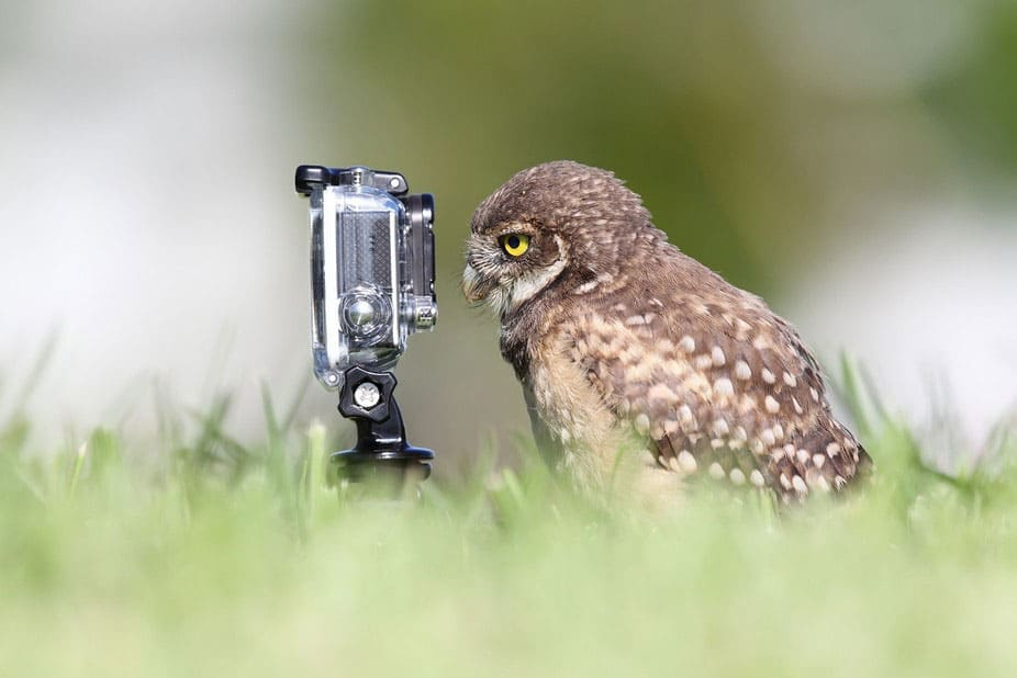 Owl standing directly in front of a camera