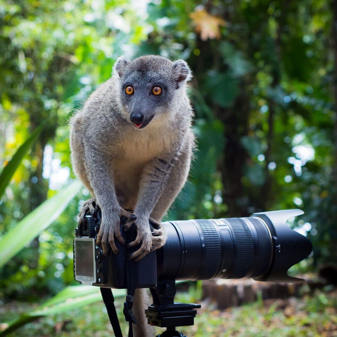 Brown lemur standing on a camera