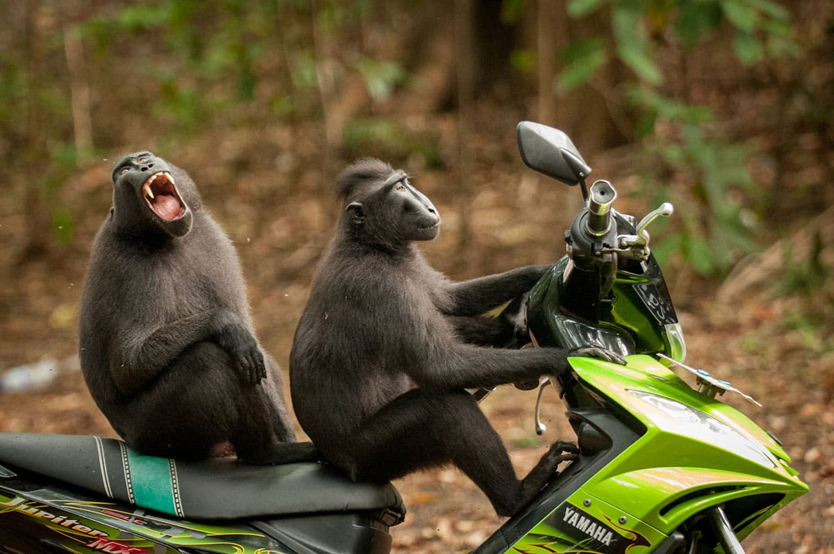 Two monkeys sitting on a motorcycle