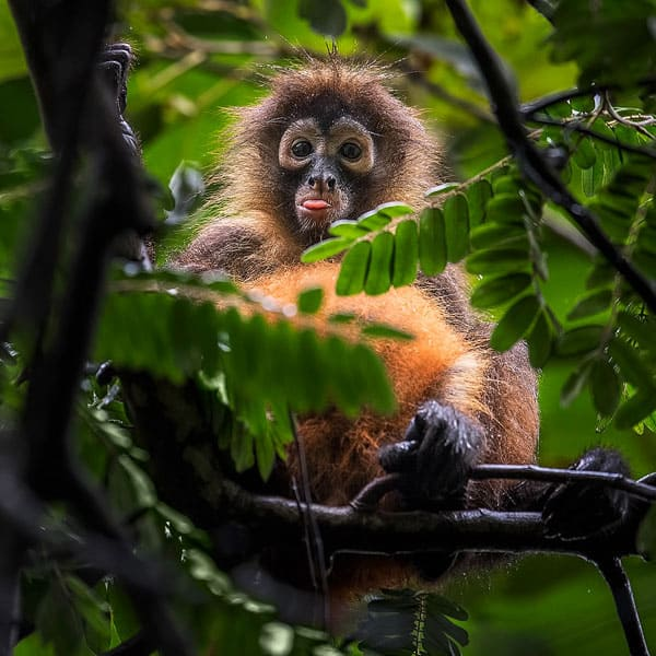 A monkey sitting in a tree and pulling a tongue