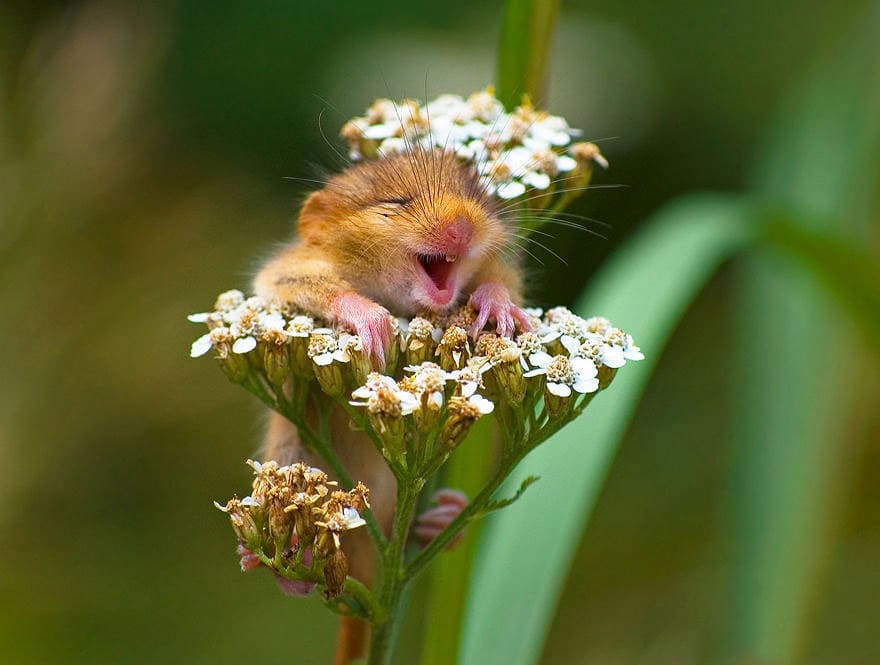 A small mouse laughing whiles sitting in a flower