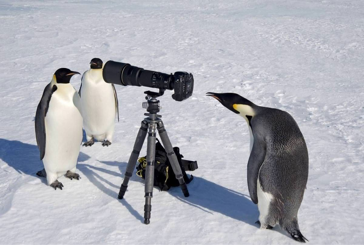 Two penguins appear to be having their photo taken by another penguin