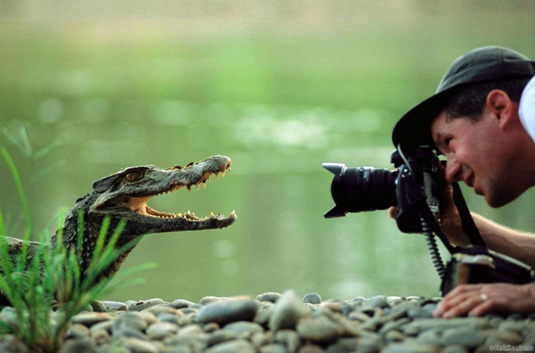 Crocodile posing for a picture