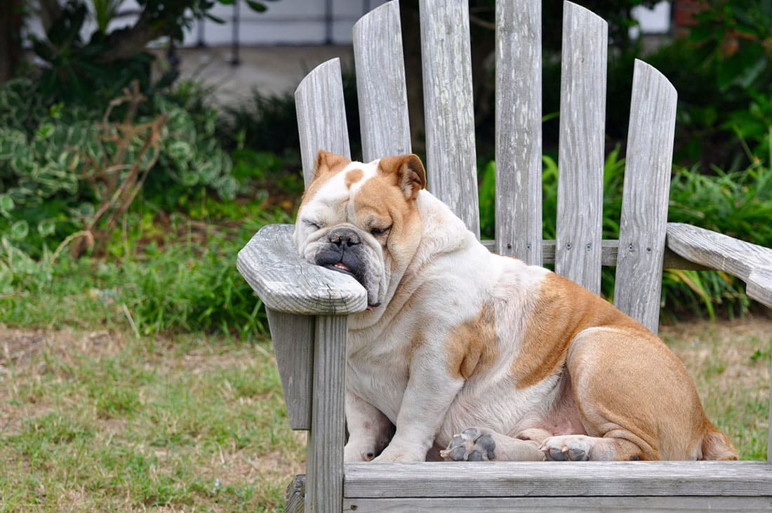 A Dog fell asleep sitting on a chair with his face on the arm of the chair