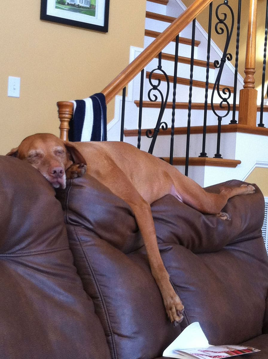 a dog sleeping on top of a backrest of a sofa