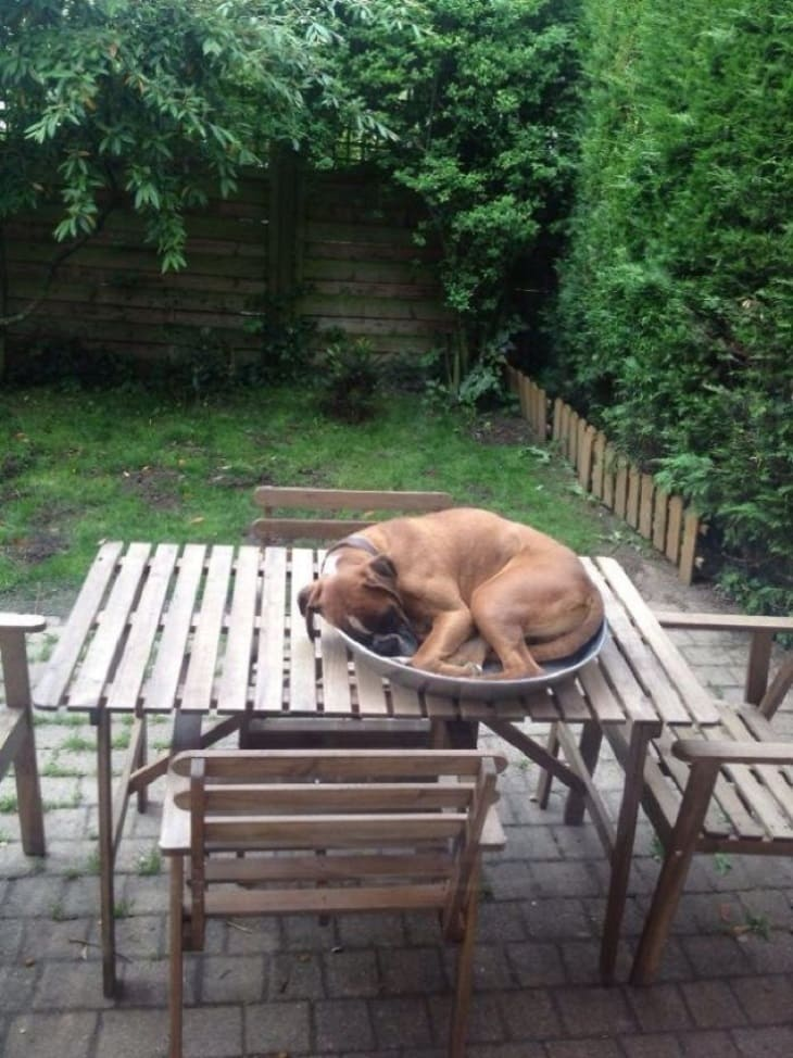 A boxer curled up in a large plate on an outside dining table