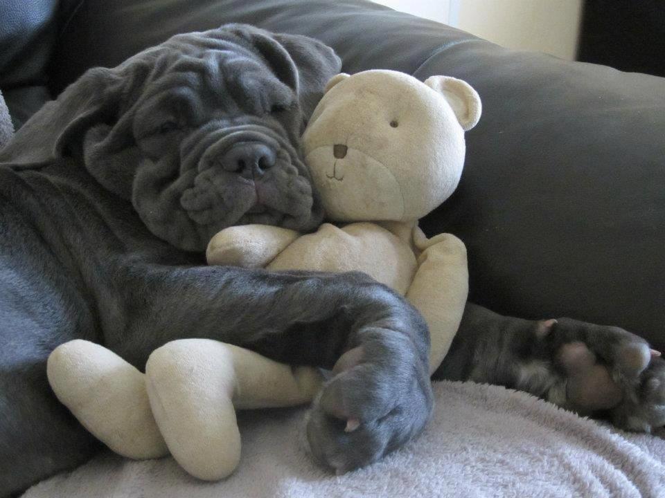 A Great Dane puppy cuddling a teddy bear