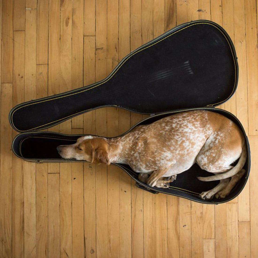 A Whippet sleeping inside a guitar case