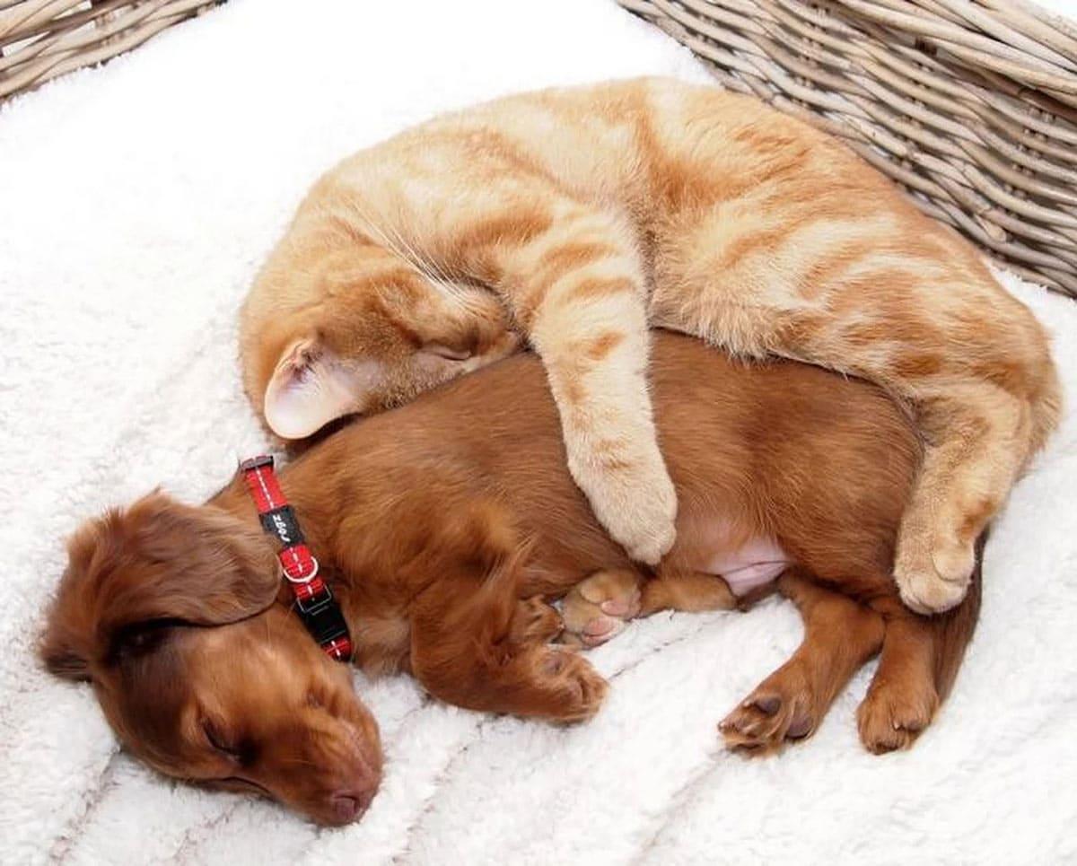 A cat cuddling a dog