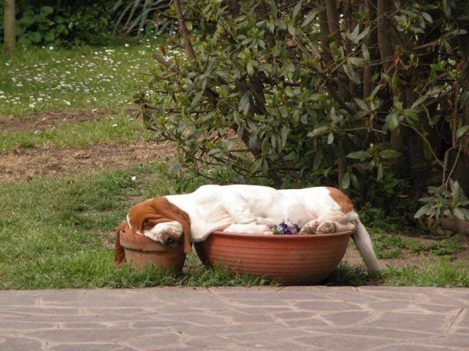 A dog spread over two pot plants, sleeping of course.