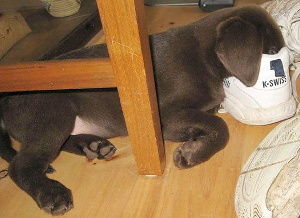 A puppy sleeping with his face buried inside a shoe