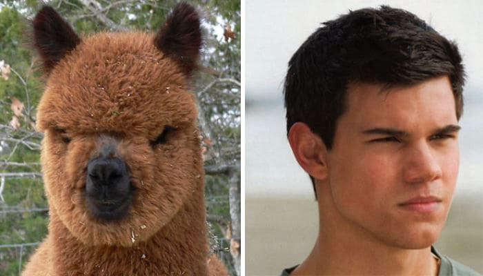 Taylor Lautner and an Alpaca