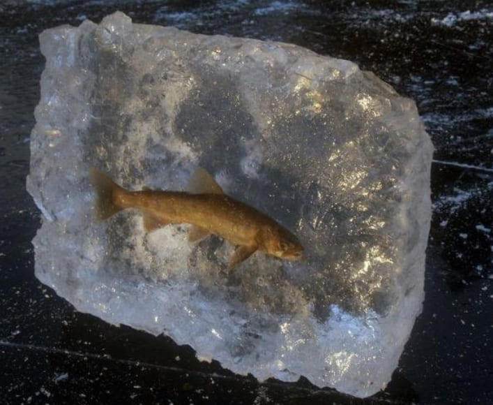 A fish frozen in ice