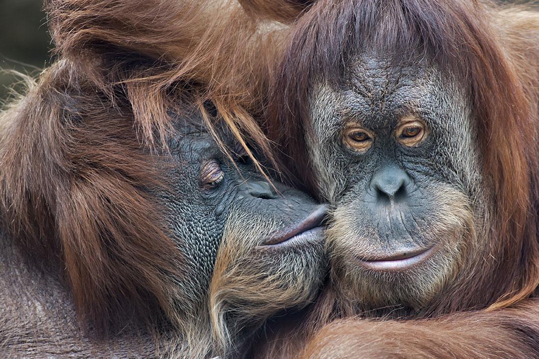 An orangutan kissing his partner