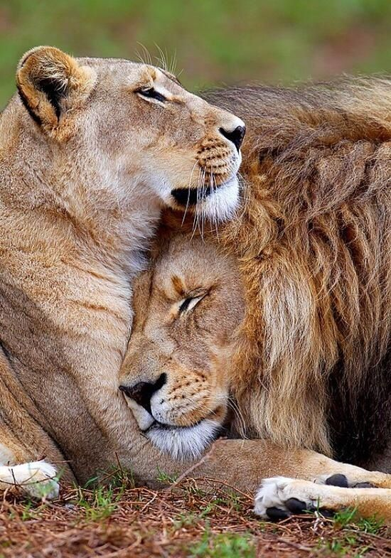 A lion and lioness showing
