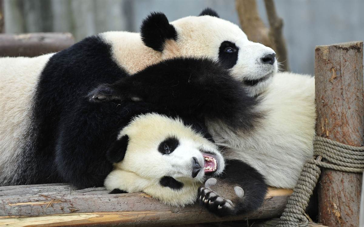 A panda snuggling on top of another panda