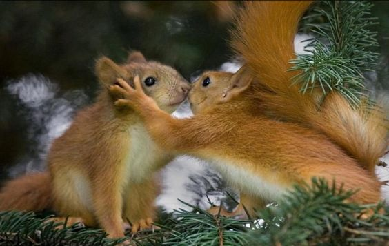 Two squirrels in a tree, kissing