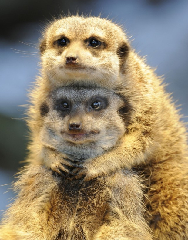 A meerkat is hugging her lover from behind.