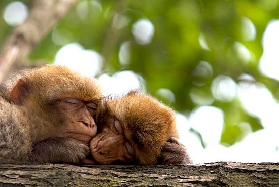 Monkeys cuddling together while they sleep