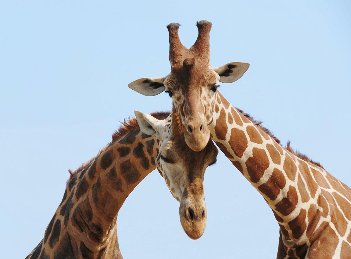 Giraffe kissing their mate