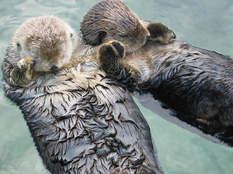 Two Otters sleeping, floating on their backs in the water while holding hands
