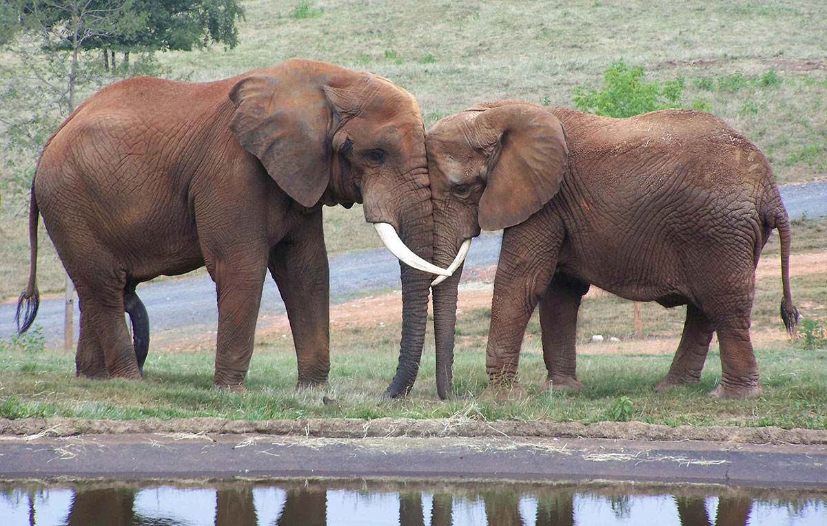 Two elephants standing face to face in an affectionate way