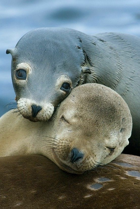 Two seals sleeping in entwined