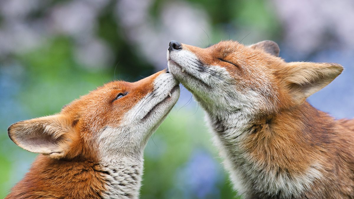 A fox smelling their partners face