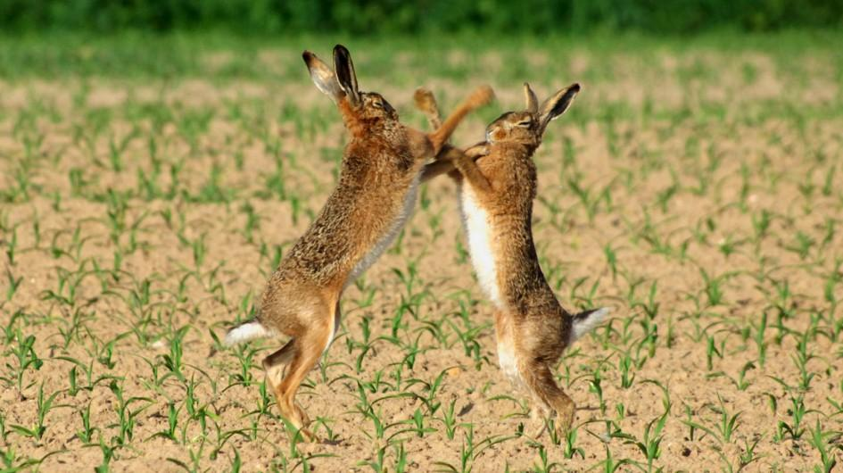 Two rabbits playing around in the fields