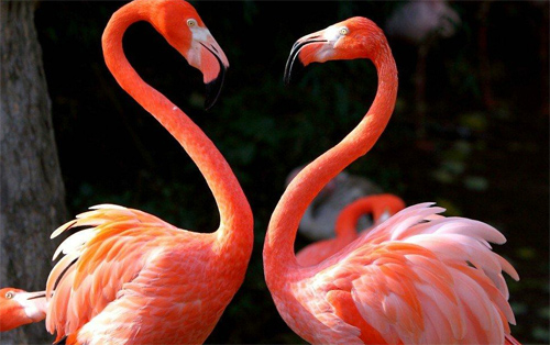 Two flamingos facing one another, forming heart shapes with their necks