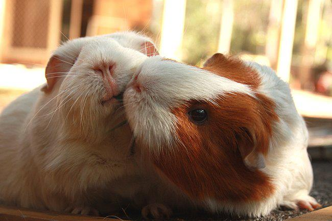 Two guinea pigs kissing
