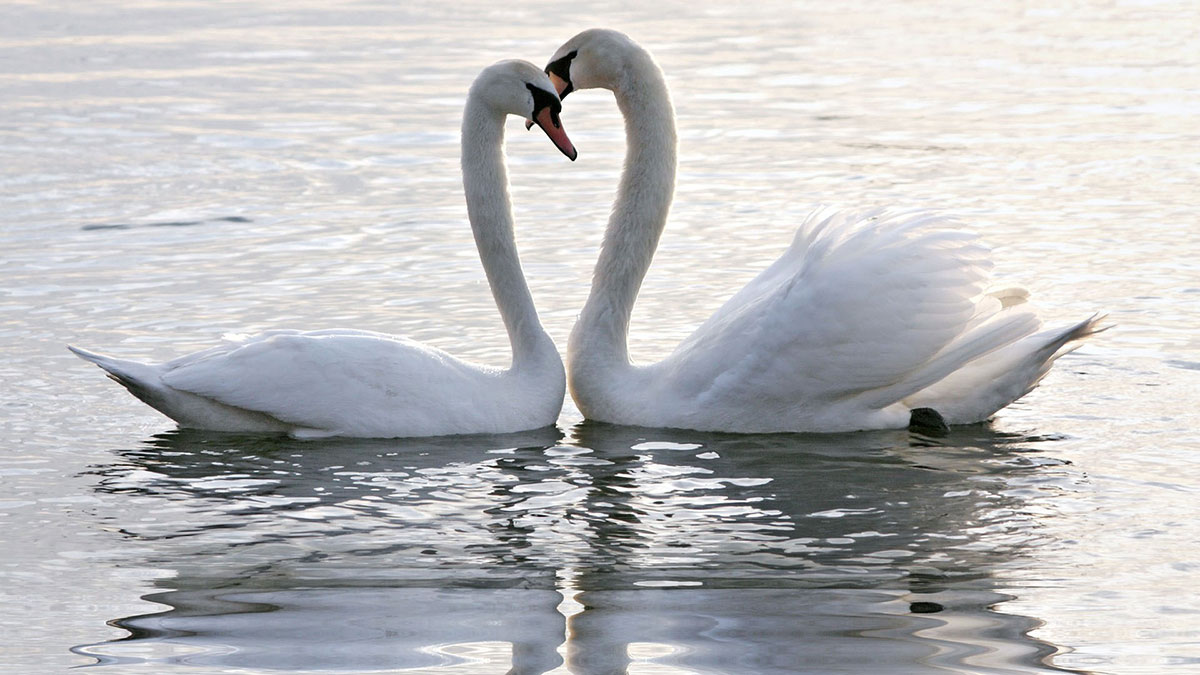 Two swans floating together