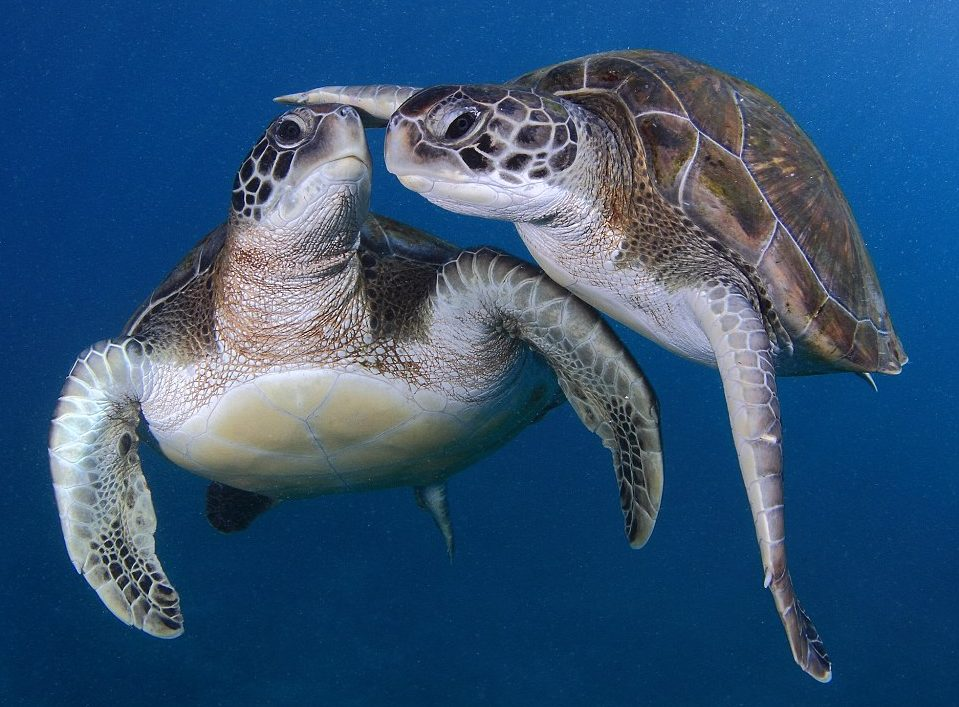 Two Sea turtles swimming together, looking at one another